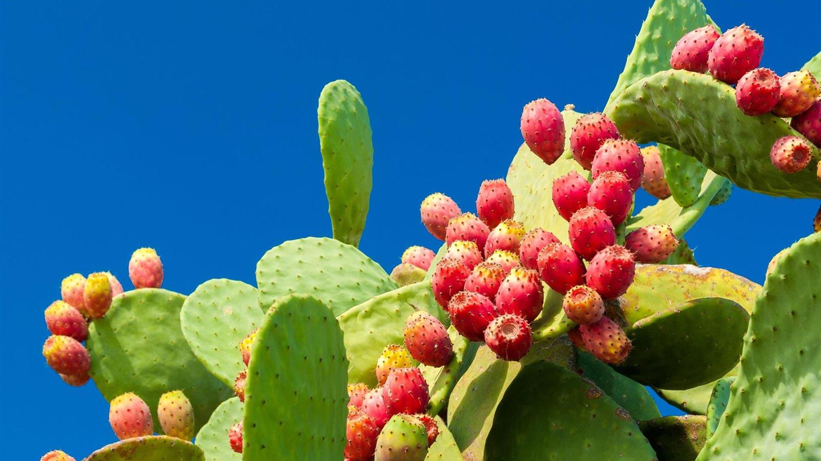 Mexico grootste teler van cactusvijgen ter wereld